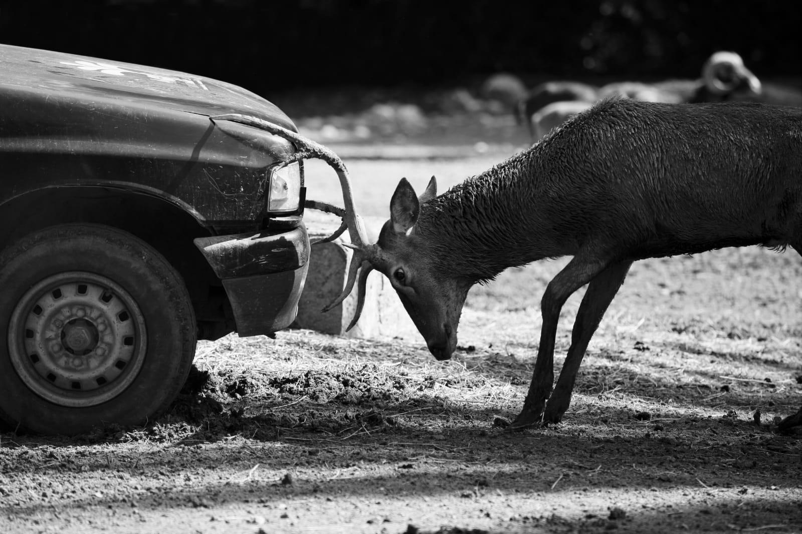 Risarcimento del danno causato da animali selvatici protetti